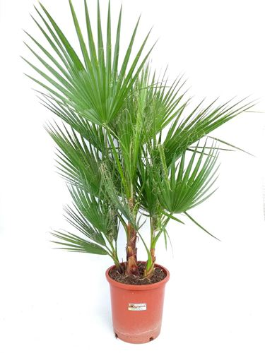 Foto de WASHINGTONIA ROBUSTA GRUPO 10L
