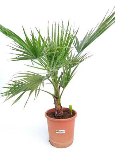 Foto de WASHINGTONIA ROBUSTA 10L