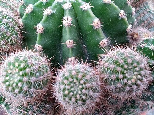 Cuadro para la categoría Cactus y Crasas
