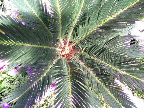 Cuadro para la categoría Palmáceas