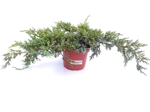 Foto de JUNIPERUS SQUAMATA BLUE CARPET M18